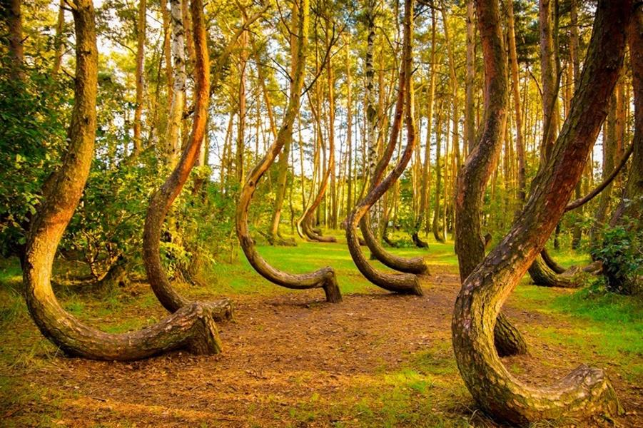 The Most Unique and Mysterious Forests in the World- The Crooked Forest